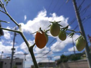 保育園で育てたトマト、台風にも負けず元気!